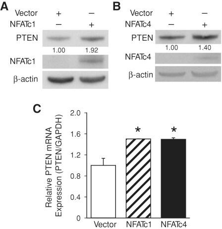 NFATC4 Antibody