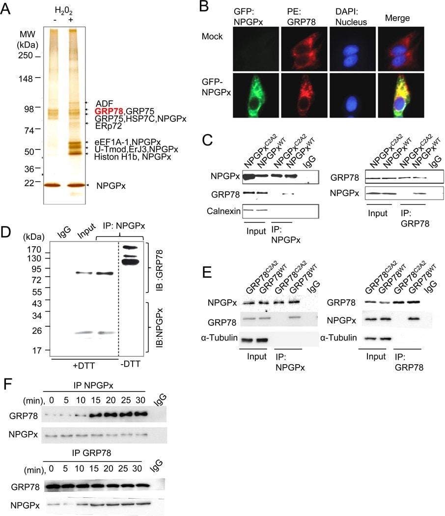 Calnexin Antibody