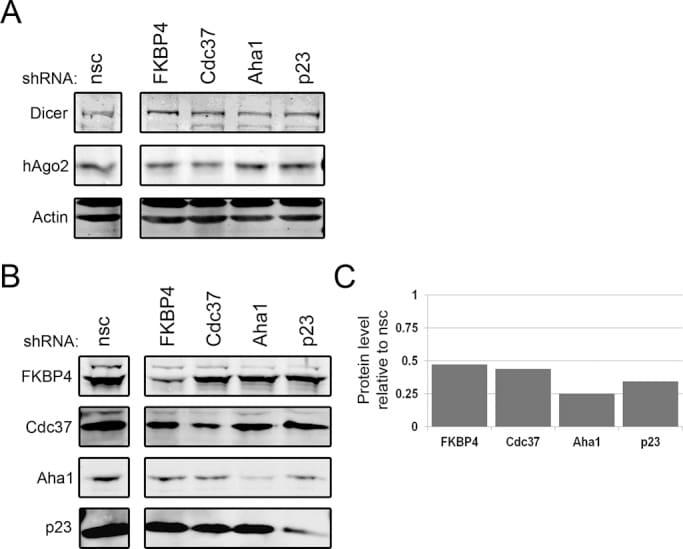 Cdc37 Antibody