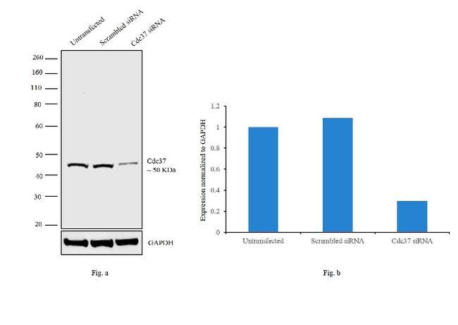 Cdc37 Antibody in Western Blot (WB)