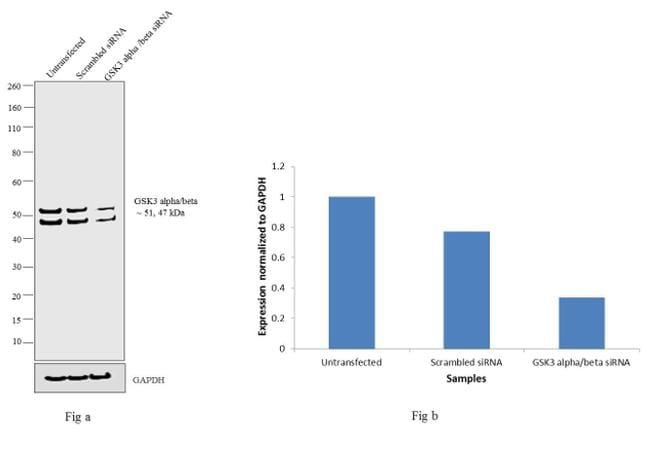 GSK3 alpha/beta Antibody in Knockdown