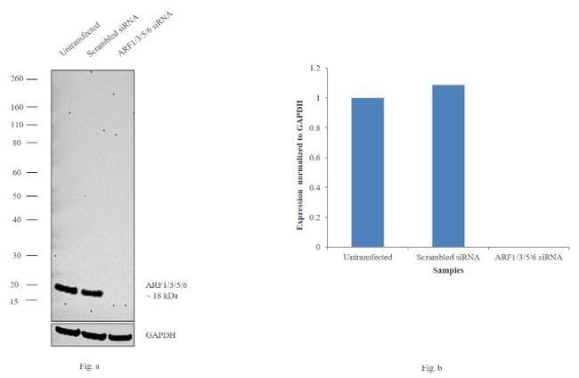 ARF1/ARF3/ARF5/ARF6 Antibody in Knockdown