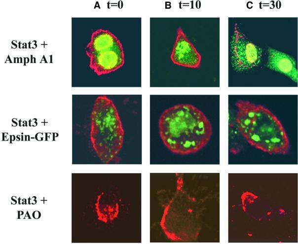 alpha Adaptin Antibody