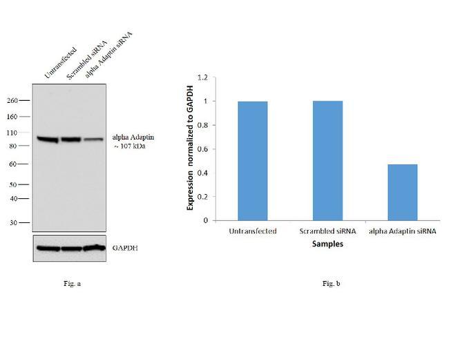 alpha Adaptin Antibody in KnockDown