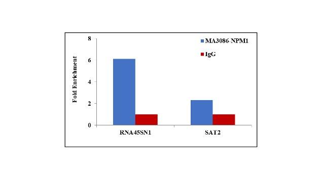 NPM1 Antibody in ChIP assay (ChIP)