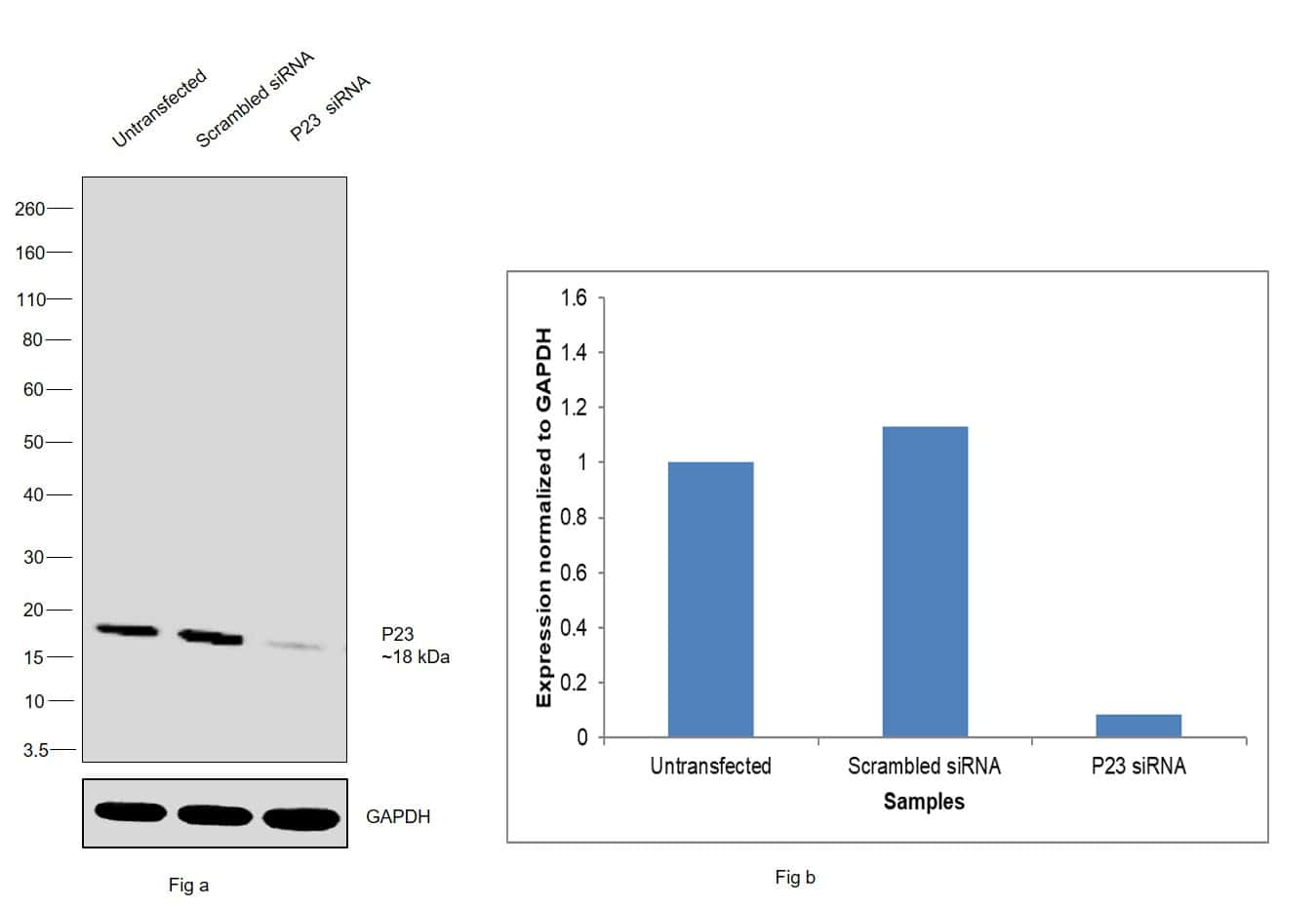 p23 Antibody in Western Blot (WB)
