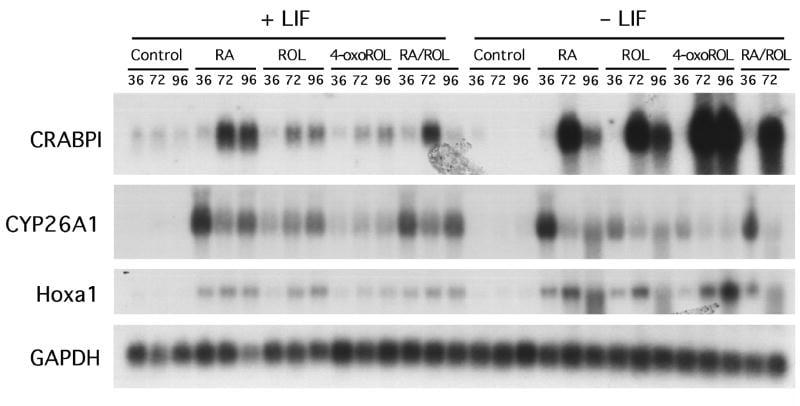 CRABP1 Antibody