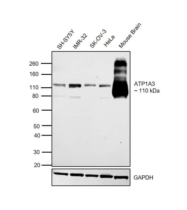 ATP1A3 Antibody in Western Blot (WB)
