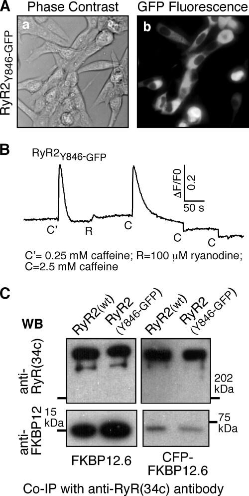 FKBP12 Antibody