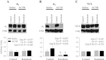 Sodium/Calcium Exchanger Antibody