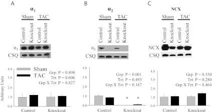 Calsequestrin Antibody