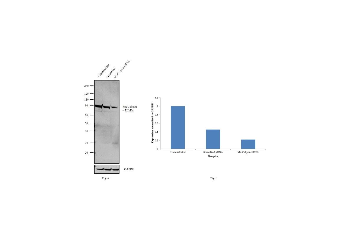 Mu-Calpain Antibody in Knockdown