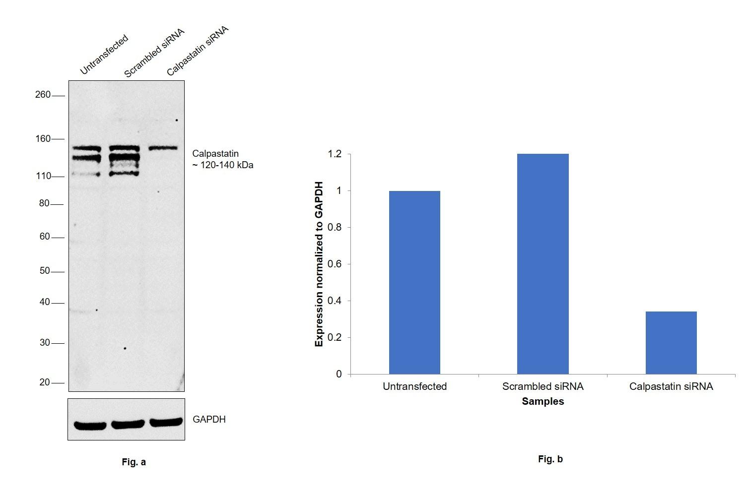 Calpastatin Antibody in Western Blot (WB)
