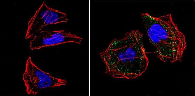 RASA1 Antibody in Immunofluorescence (IF)