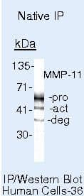 MMP11 Antibody in Immunoprecipitation (IP)