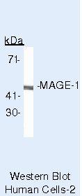 MAGE1 Antibody in Western Blot (WB)