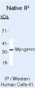 Myogenin Antibody in Immunoprecipitation (IP)
