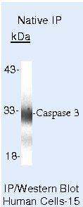 Caspase 3 Antibody in Immunoprecipitation (IP)