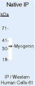 Myogenin Antibody in Immunoprecipitation (IP)