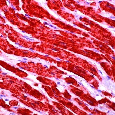 Cytochrome C Antibody in Immunohistochemistry (IHC)