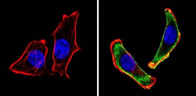 CD24 Antibody in Immunofluorescence (IF)