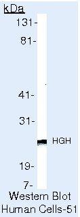 Growth Hormone Antibody in Western Blot (WB)