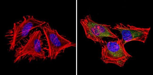 Bcl-xL Antibody in Immunofluorescence (IF)