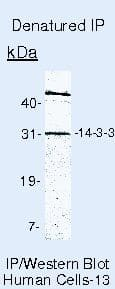 14-3-3 Pan Antibody in Immunoprecipitation (IP)