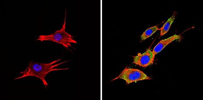 PTEN Antibody in Immunofluorescence (IF)