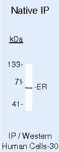 Estrogen Receptor alpha Antibody in Immunoprecipitation (IP)