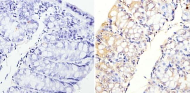 MUC2 Antibody in Immunohistochemistry (Paraffin) (IHC (P))