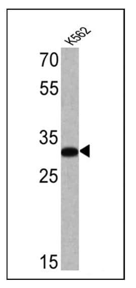 CD235a Antibody in Western Blot (WB)