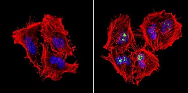 NPM1 Antibody in Immunocytochemistry (ICC/IF)