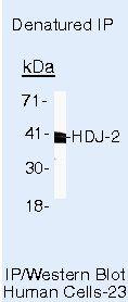 HDJ2 Antibody in Immunoprecipitation (IP)
