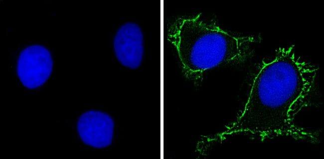RPSA Antibody in Immunofluorescence (IF)