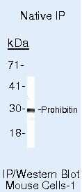 Prohibitin Antibody in Immunoprecipitation (IP)