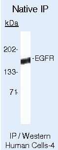 EGFR Antibody in Immunoprecipitation (IP)
