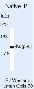 Ku80 Antibody in Immunoprecipitation (IP)