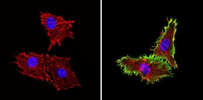 ICAM-1 Antibody in Immunofluorescence (IF)