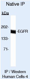 EGFR Antibody in Immunoprecipitation (IP)