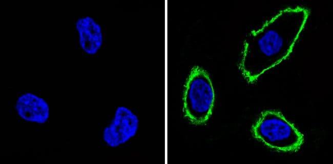 EGFR Antibody in Immunofluorescence (IF)