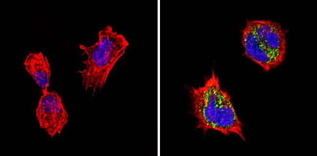 Chromogranin A Antibody in Immunofluorescence (IF)