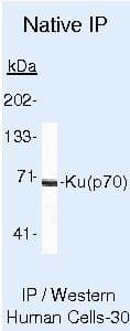 Ku70 Antibody in Immunoprecipitation (IP)