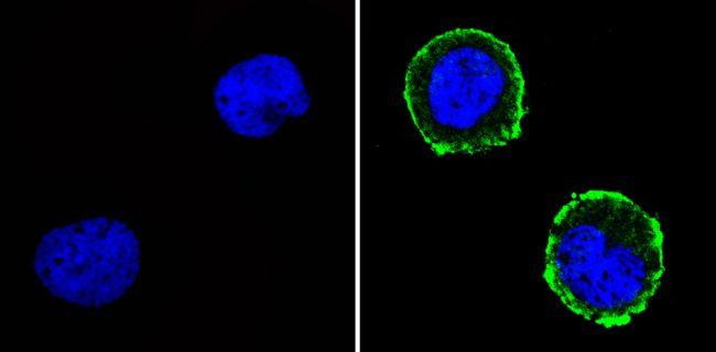 CD31 Antibody in Immunofluorescence (IF)