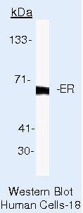 Estrogen Receptor alpha Antibody in Western Blot (WB)