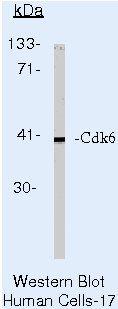 Cdk6 Antibody in Western Blot (WB)