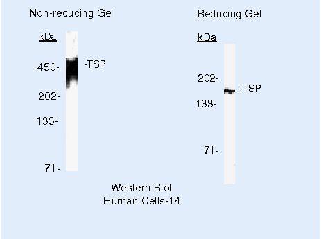 Thrombospondin 1 Antibody in Western Blot (WB)
