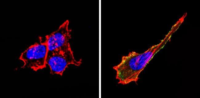 CD155 Antibody in Immunofluorescence (IF)