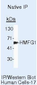 MFGE8 (Lactadherin) Antibody in Immunoprecipitation (IP)