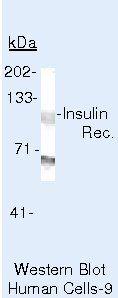 INSR Antibody in Western Blot (WB)